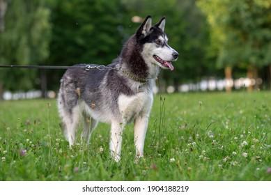 Portrait of a Siberian husky on a leash in a summer park.