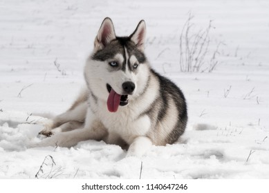 A portrait of Siberian husky on snow. A young grey & white female husky bitch has blue eyes. She lies on snow and looks right. It's cloudy weather.