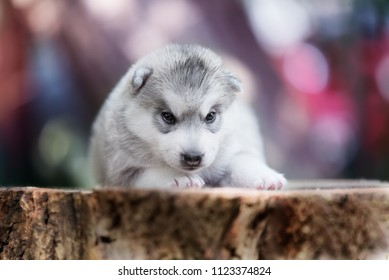A portrait of Siberian husky puppy. A young grey & white female husky bitch has brown eyes. She lies on a big stump. The background has blue, red, white colors.