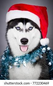 Portrait of Siberian husky in Santa hat over grey background