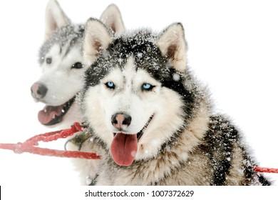 Portrait of siberian husky sled dog at snowy winter