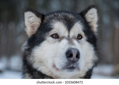 Portrait of Siberian Husky standing on wood in winter. Symbol of new year 2018