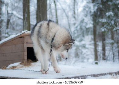 Portrait of Siberian Husky tied on a chain to a loaf in the forest in winter