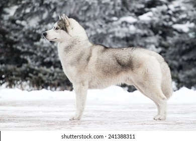 Portrait of Siberian Husky in winter