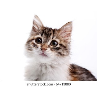 Portrait of siberian kitten
