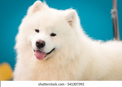 Portrait Siberian Samoyed, White husky dog
