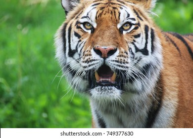 A portrait of a siberian tiger looking up