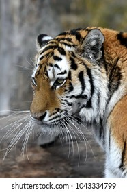 Portrait of Siberian Tiger (Panthera tigris altaica) femail