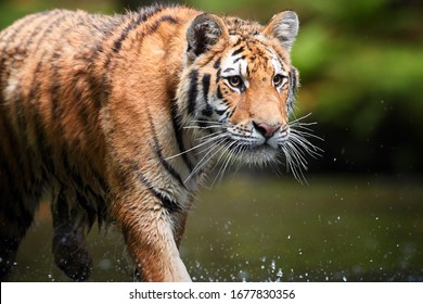 Portrait of  Siberian tiger, Panthera tigris altaica, walking in forest stream in dark green spruce forest. Tiger in typical taiga environment.