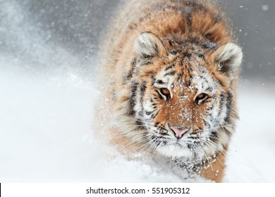 Portrait of Siberian tiger, Panthera tigris altaica, male with snow in fur, running directly at camera in deep snow during snowstorm. Taiga environment, freezing cold, winter. Front view.