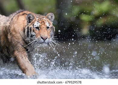Portrait of Siberian tiger, Panthera tigris altaica, low angle photo in direct view, running in water, water splashing around. Predator in action, keeping eye contact. Taiga forest.