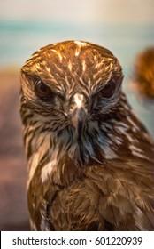 Portrait of an sicilian bald eagle