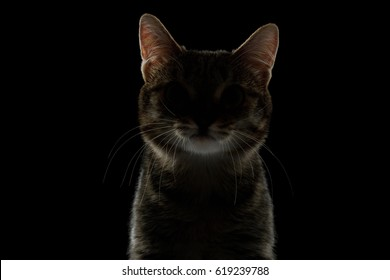 Portrait of Silhouette of Cat in dark on Isolated Black background, front view