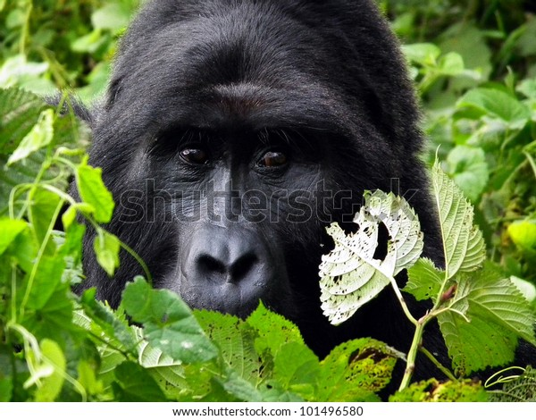 Portrait of Silver-back, the leader of the Gorilla