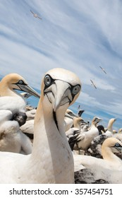 portrait of a singel cape gannet on Malgas Island, Langebaan, in the breeding colony of birds