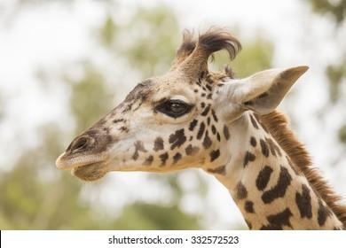 Portrait of a single Masai Giraffe (Giraffa camelopardalis tippelskirchi), also called a Kilimanjaro giraffe.