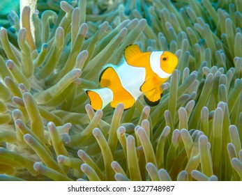 Portrait of a single orange false clownfish in a magnificent anemone.