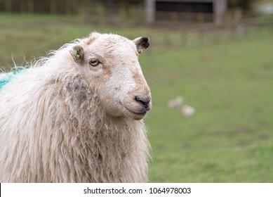 Portrait of a single Welsh mountain sheep