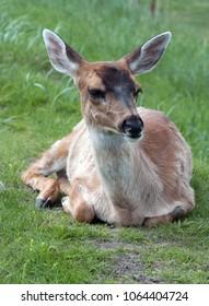 Portrait of Sitka deer fawn at rest