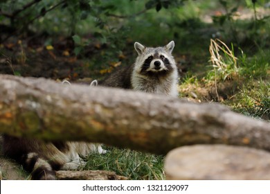 Portrait of sitting adult common raccoon. Photography of nature and wildlife.