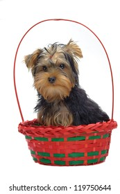 Portrait of sitting in basket puppy of yorkshire terrier isolated on white