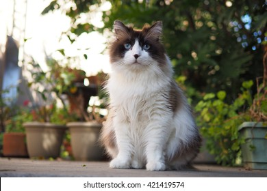 Portrait of a Sitting Large Brown White Bi-Color Ragdoll Cat with Long Hair & Blue Eyes