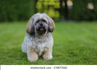 Portrait of sitting lhasa apso dog facing the camera.