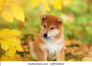 portrait sitting little puppy Akita inu dog autumn in the park in autumn leaves