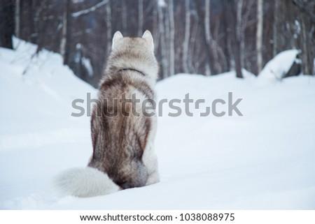 Portrait Sitting Siberian Husky Dog On Stock Photo Edit Now
