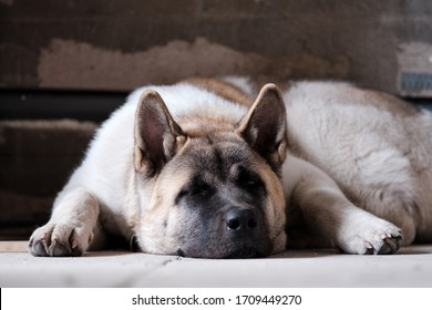 Portrait of a six-month-old American Akita puppy