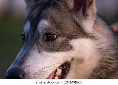 Portrait of a six-month-old Siberian husky