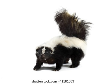Portrait of a Skunk