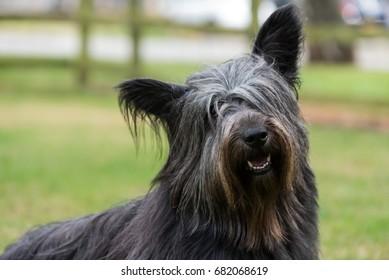 Portrait of Skye Terrier