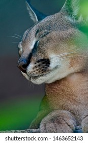 The portrait of the sleeping desert cat caracal