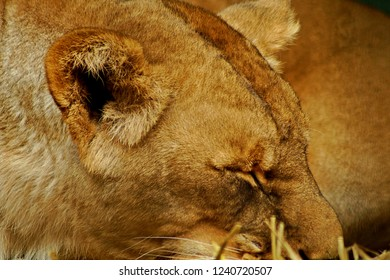portrait of a sleeping lion