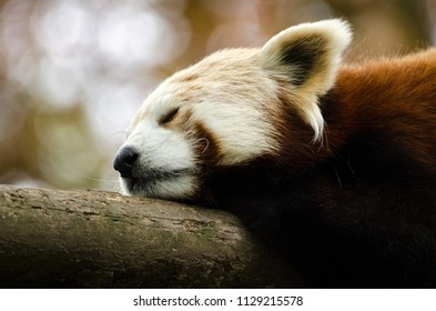 A portrait of a sleeping red panda