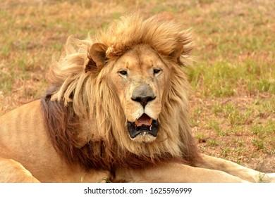 Portrait of a sleepy lion