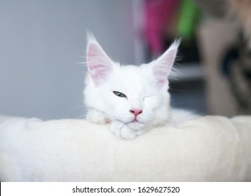 Portrait of a sleepy white maine coon kitty lying at a bed on gray background, wink with one eyes open