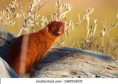 Portrait of Slender Mongoose, Galerella sanguinea, reddish coloured small  african carnivore sitting on dead acacia trunk against red sand dunes of Kgalagadi Park, Botswana. Desert animals photo.