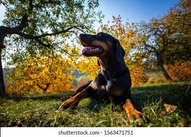 Portrait of slovakian hund kopov