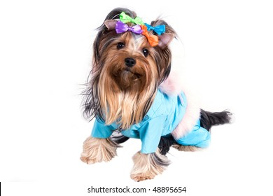portrait of the small amusing yorkshire terrier on white background