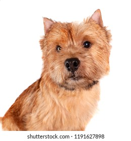 Portrait of a small, brown dog (Norwich terrier) on a white background looking at the camera