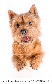 Portrait of a small dog (Norwich Terrier). The dog stands on its hind legs with its tongue hanging out on a white (isolated) background.