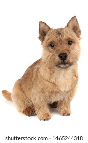 Portrait of a small dog (Norwich Terrier).