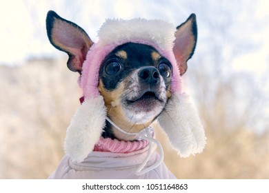 Portrait of a small dog that barks in a cap in the cold close up