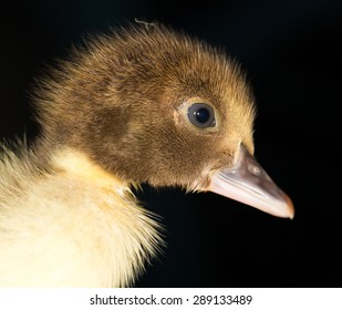 Portrait of a small duckling