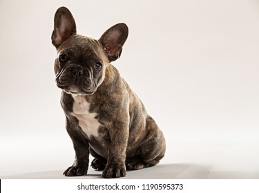 Portrait of small French Bulldog puppy with big ears
