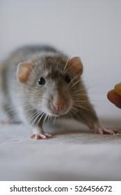 Portrait of small funny rat