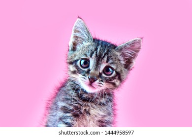 Portrait of a small gray striped kitty on a pink background, nice little kitten looking with big eyes at the camera, copy space