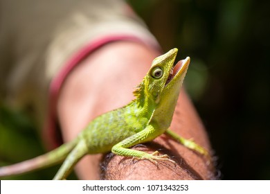 Portrait of a small green iguana on a man hand on a tropical island of Bali, Indonesia. Close up, macro